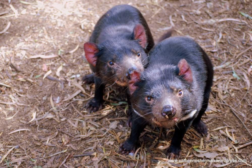 Scientists Discover Origin of a Cancer in Tasmanian Devils  (2/2)