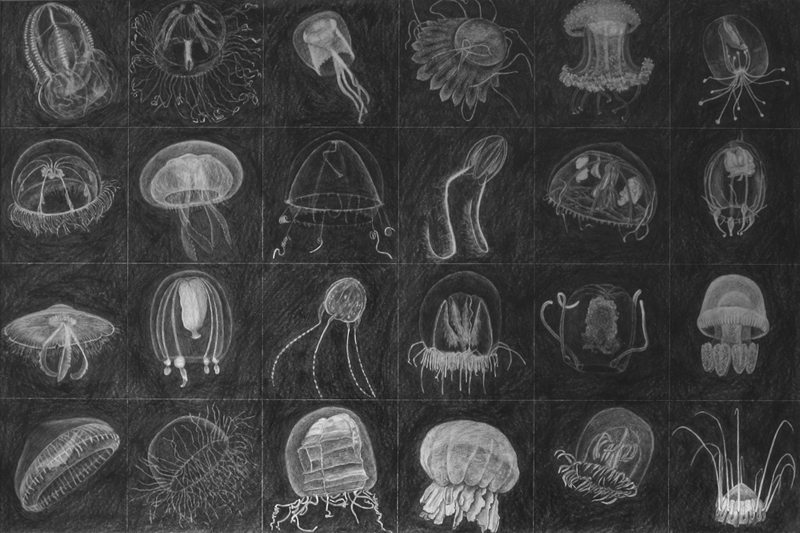 Jellyfish drawing by Cathy Durso