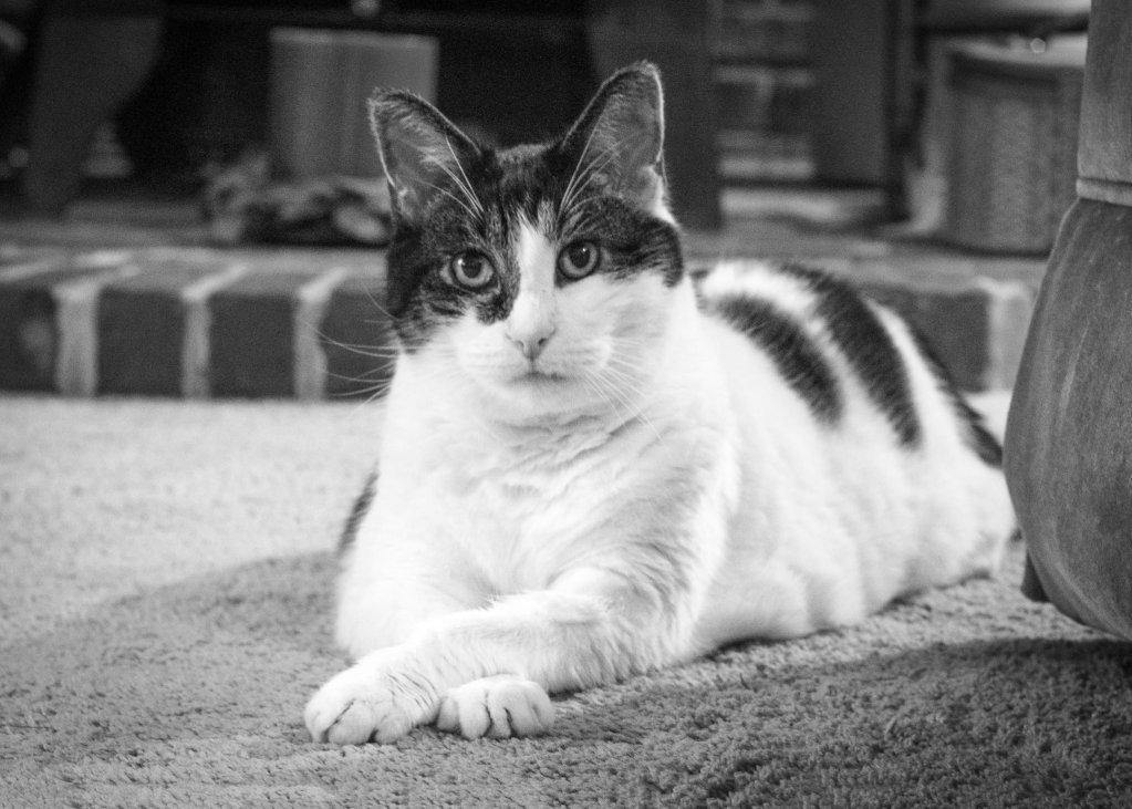 cat, black & white, Spencerport, NY, beloved pet