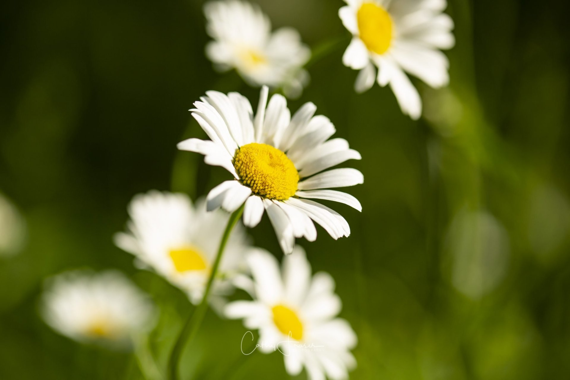 landscape photography of white daisies in new york