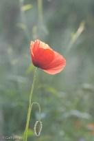 20160606-klaproos bloem rood-1