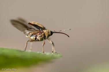 20160805-hazelnootboorder insect cathyphp macro