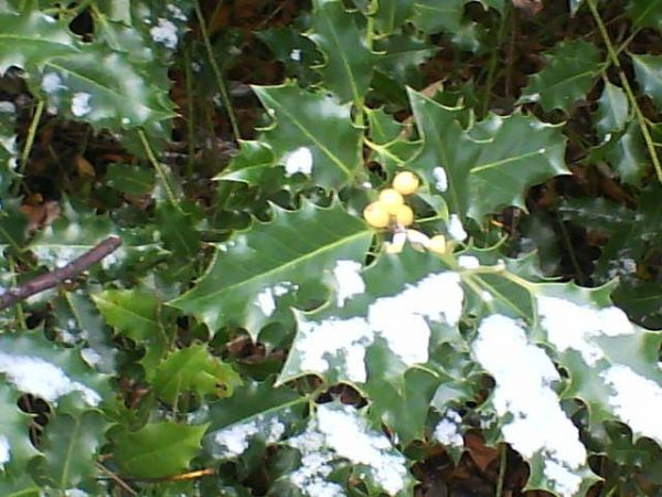 ©2010 - Cathy Read - yellow hollyberries in the snow - digital image