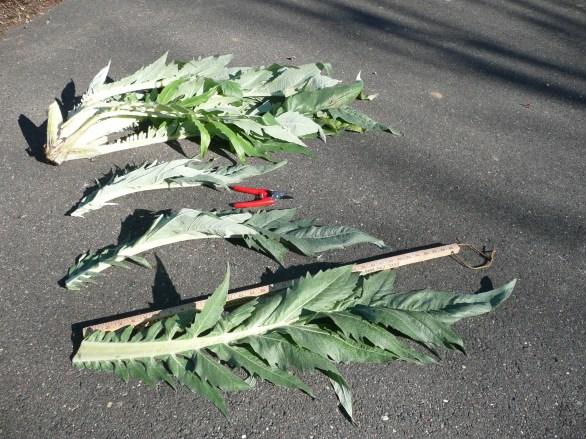 Cardoon Leaves
