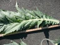 Cardoon foliage