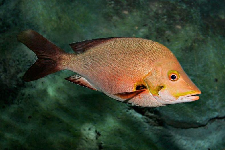 Ikan Kakap