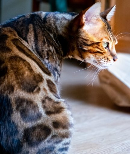 Bengals' fine and silky coats make them a good option for allergy sufferers