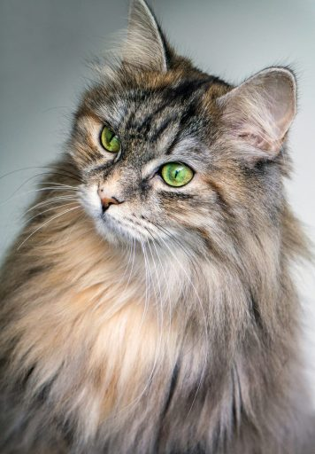 Siberians are well known as one of the most hypoallergenic cats