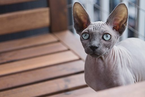 Hairless Sphynx cats are less likely to provoke allergic reactions