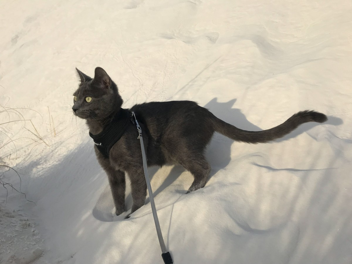 gray cat in harness on sand dune