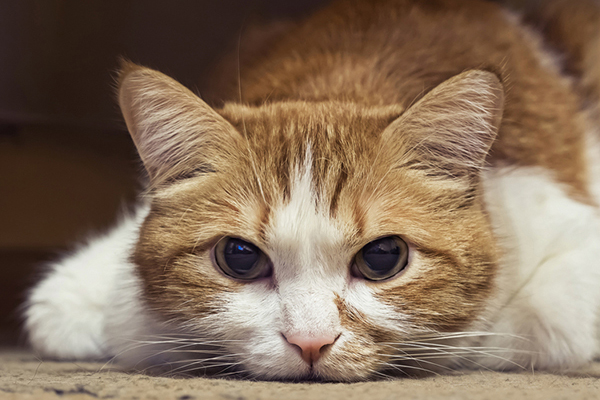 Have a Sick Cat? 9 Ways to Tell if Your Cat Is In Pain