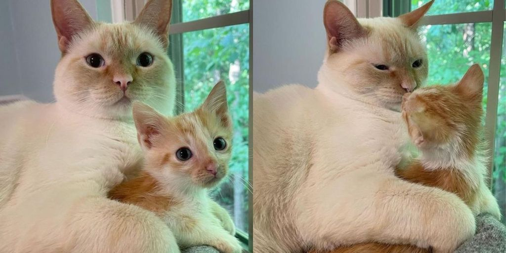 Kitten Rescued with His Sisters Takes a Liking to Family Cat and Turns into Stage Five Clinger