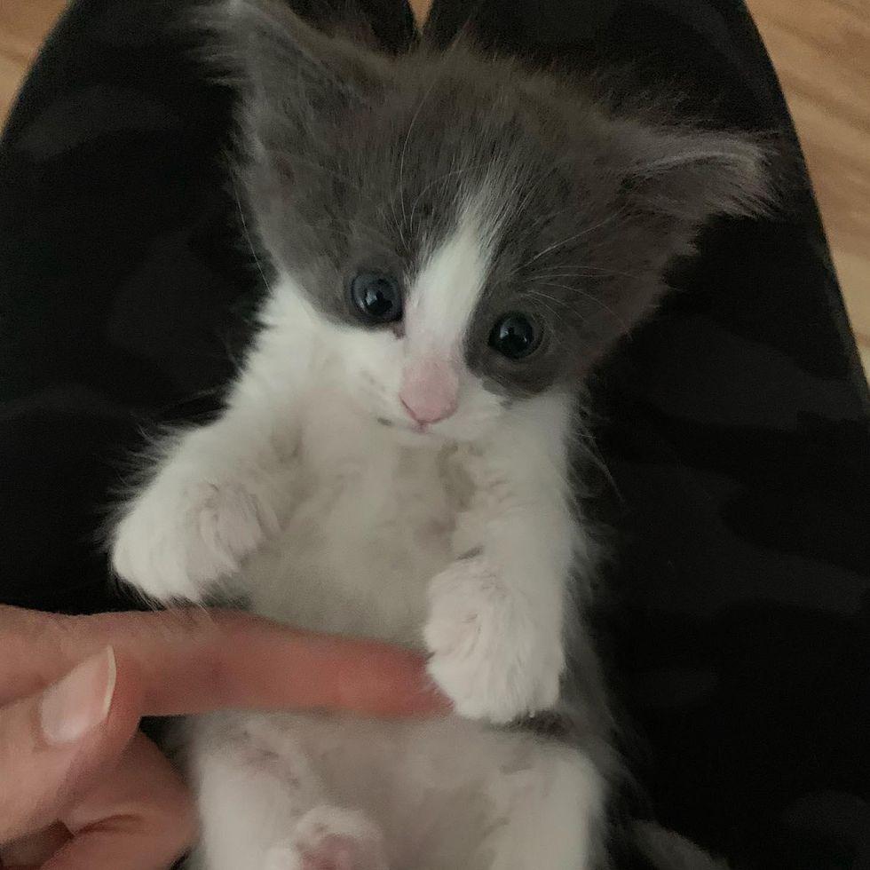 lap kitten