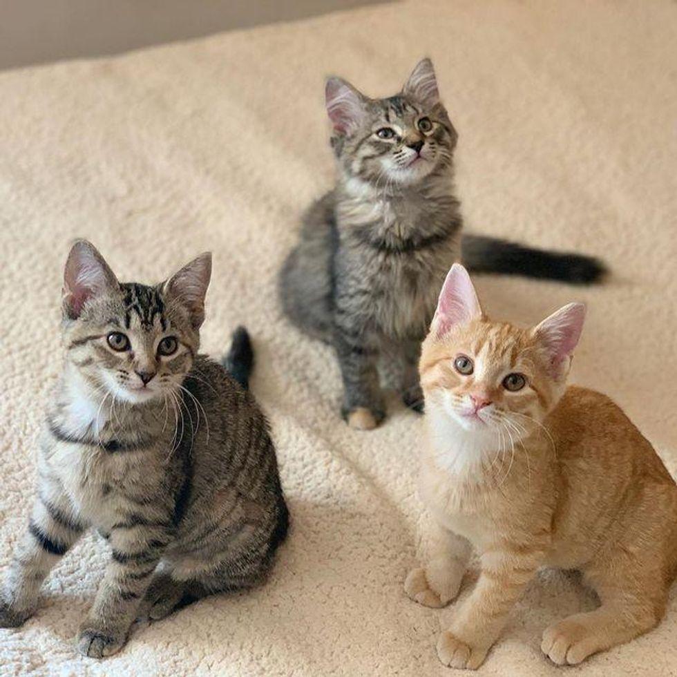 triple adoption kittens