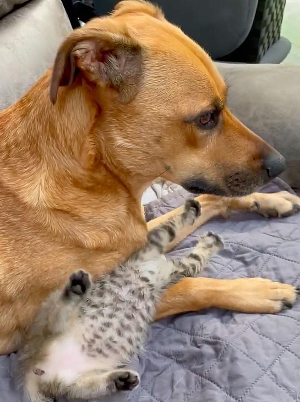 Kitten Decides to Be Raised by Dog After Being Found Alone, and Turns into Affectionate Fluff Ball