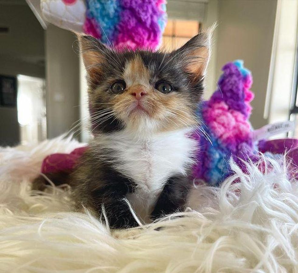 calico kitten tiny