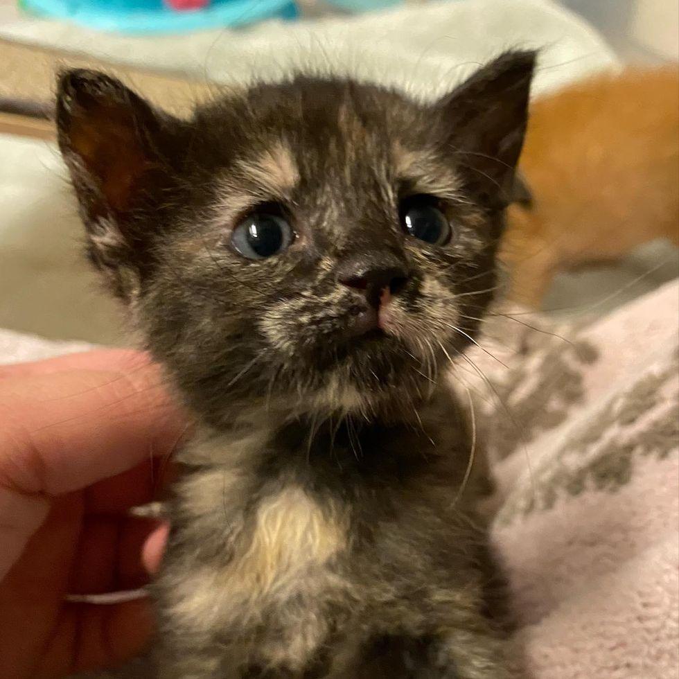 sweet tortie kitten