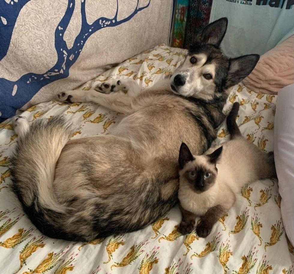husky and siamese