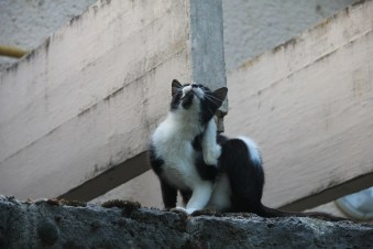 Black & white cat with fleas scratching himself