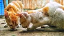 ginger/white kitten eating