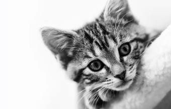 young silver tabby cat