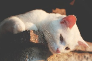 white cat lounging