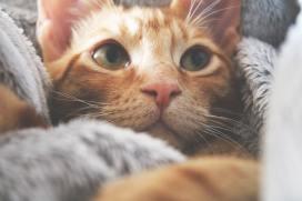 comfy orange tabby cat