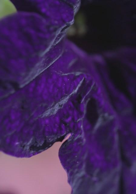 A petal like velvet.