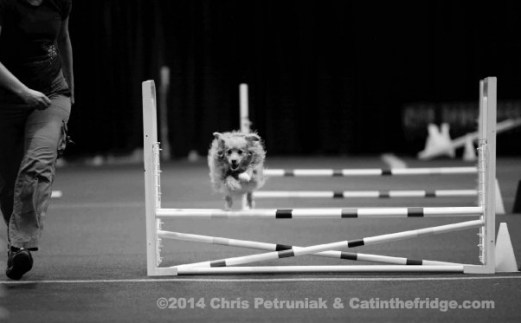Doodle flying through agility. Again, she's not deaf, but she looks really cool.