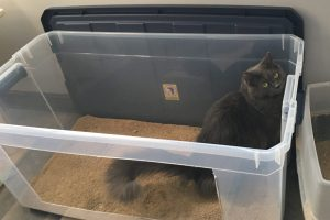 grey cat in a large litter box