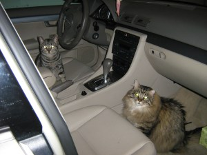 Cats Tyring to Steel Car 099