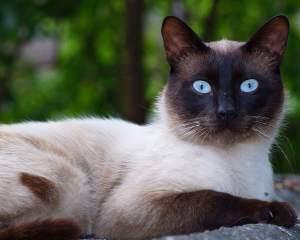 Siamese : Cat Breeds