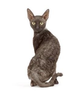 Cornish Rex : Cat Breeds