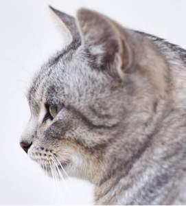 American Shorthair : Cat Breeds