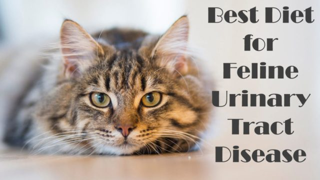 Best Diet for Feline Urinary Tract Disease   Cat Mania