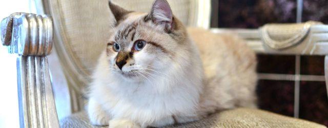 Ragdoll Cat : Cat Breeds | Breed Info | Cat Mania | For Cat Lovers