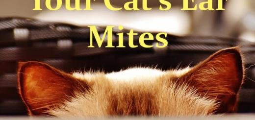 Ear Mites in Cats and Treatment   Cat Mania