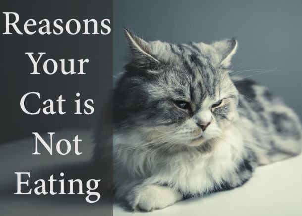 Reasons Your Cat is Not Eating
