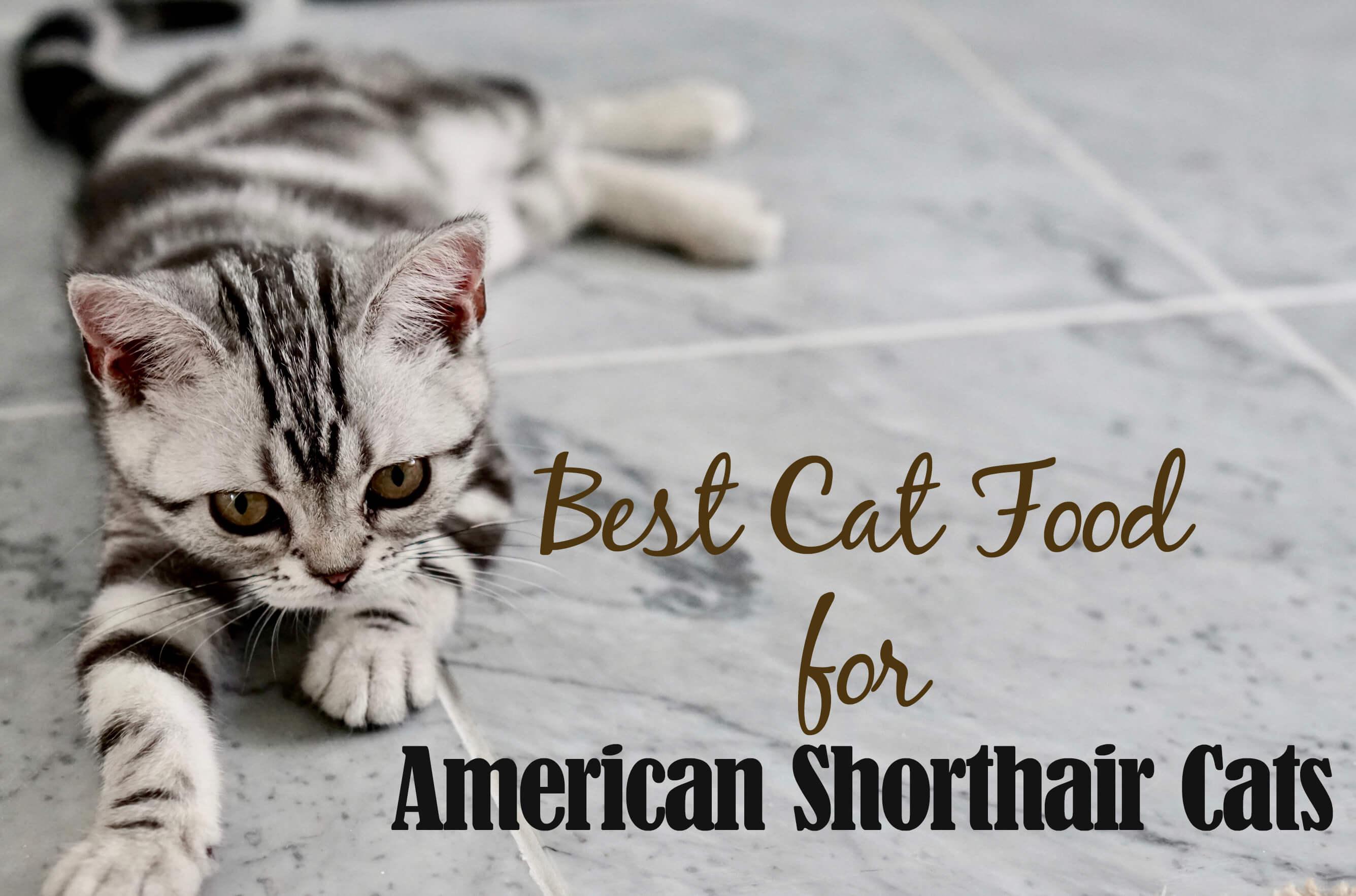 American Shorthair Cat Food