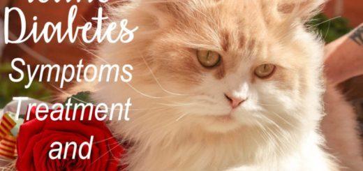 Feline Diabetes : Symptoms, Treatment and Care