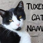 Tuxedo Cat Names : 150 + Classy Names