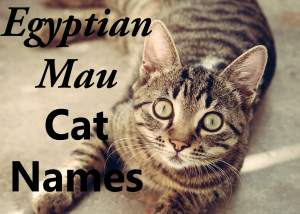 Egyptian Mau Cat Names – 100 + Wild Names