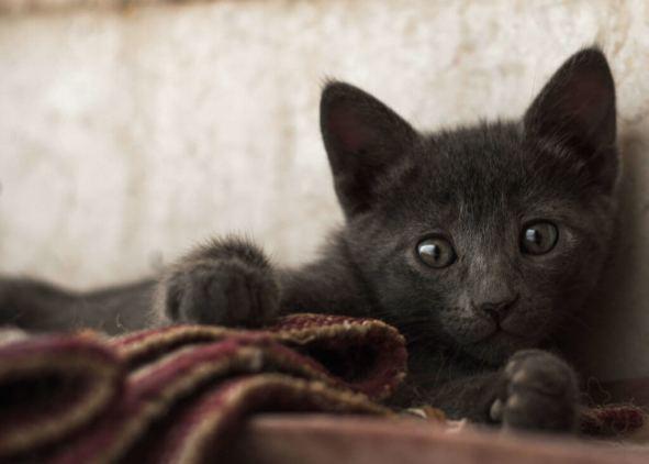 Korat : Cat Breeds