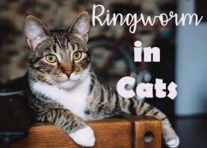 Ringworm in Cats : Symptoms, Treatment and Prevention