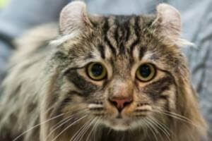American Curl Cat: The Breed with the Curved Ears
