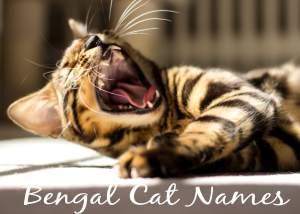 Bengal Cat Names – 100 + Exotic Names