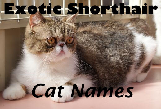 Exotic Shorthair Cat Names - 100+ Cute Names | Cat Mania