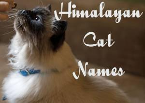 Himalayan Cat Names – 100 + Playful Names