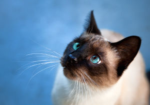 Names for Siamese Cats