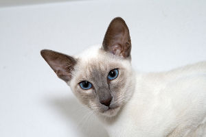 Female Siamese Cat Names